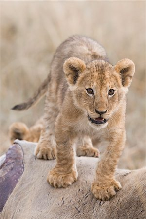 furry - Lion cub (Panthera leo) standing on an eland kill, Maasai Mara National Reserve, Kenya, Africa. Stock Photo - Rights-Managed, Code: 700-06669654