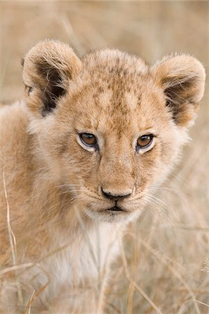 perception - Close-up of african Lion cub (Panthera leo), Maasai Mara National Reserve, Kenya, Africa. Stock Photo - Rights-Managed, Code: 700-06669655