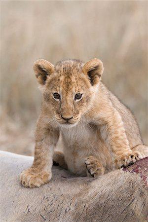 Lion cub (Panthera leo) sitting on an eland kill, Maasai Mara National Reserve, Kenya, Africa. Stock Photo - Rights-Managed, Code: 700-06669653