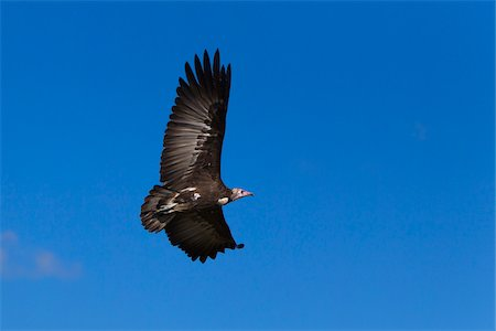 fly - Hooded Vulture (Necrosyrtes monachus) in flight, Maasai Mara National Reserve, Kenya, Africa. Stock Photo - Rights-Managed, Code: 700-06674885