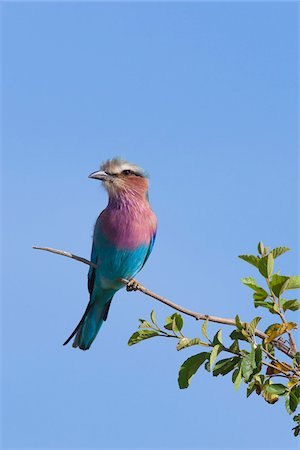 Lilac-breasted roller (Coracias caudata) on Tree Branch Against Blue Sky, Maasai Mara National Reserve, Kenya, Africa. Stock Photo - Rights-Managed, Code: 700-06674889