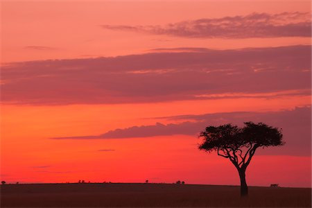 Acacia tree silhouetted against beautiful sky just before sunrise, Maasai Mara National Reserve, Kenya, Africa. Stock Photo - Rights-Managed, Code: 700-06674883