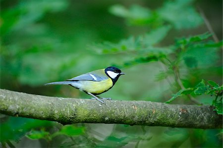 Great Tit (Parus major) sitting on a tree branch, Bavaria, Germany Stock Photo - Rights-Managed, Code: 700-06674936