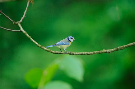 Blue Tit (Cyanistes caeruleus) sitting on a branch, Bavaria, Germany Stock Photo - Rights-Managed, Code: 700-06674937