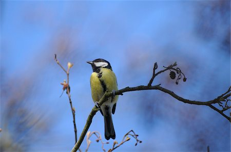 Great Tit (Parus major) sitting on a branch, Bavaria, Germany Stock Photo - Rights-Managed, Code: 700-06674948