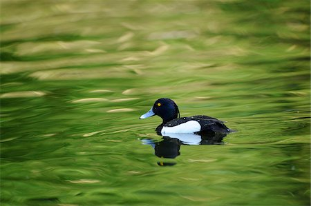 Male Tufted Duck (Aythya fuligula) swimming in the water, Bavaria, Germany Stock Photo - Rights-Managed, Code: 700-06674940
