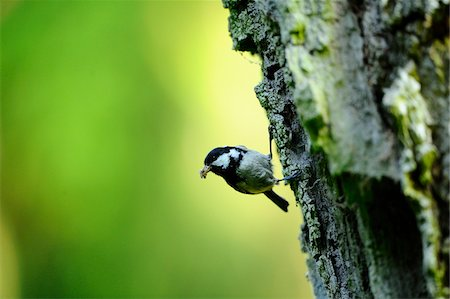 Coal Tit (Periparus ater) sitting on an old bark, Bavaria, Germany Stock Photo - Rights-Managed, Code: 700-06674942