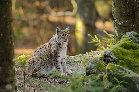 Eurasian lynx (Lynx lynx) sitting in the forest, Bavaria, Germany Stock Photo - Rights-Managed, Code: 700-06674956