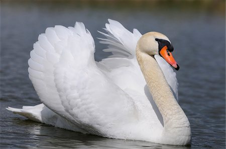 Mute Swan (Cygnus olor) swimming in the water, Bavaria, Germany Stock Photo - Rights-Managed, Code: 700-06674950