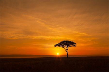 View of acacia tree silhouetted against beautiful sunrise sky, Maasai Mara National Reserve, Kenya, Africa. Stock Photo - Rights-Managed, Code: 700-06671745