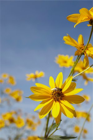 yellow wild flowers with bee Stock Photo - Rights-Managed, Code: 700-06714117