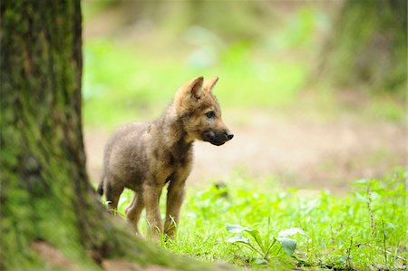 Eurasian wolf (Canis lupus lupus) pup in the forest, Bavaria, Germany Stock Photo - Rights-Managed, Code: 700-06714175