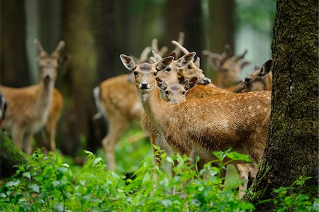 perception - Herd of fallow deer (Dama dama) in the forest, Bavaria, Germany Stock Photo - Rights-Managed, Code: 700-06714176