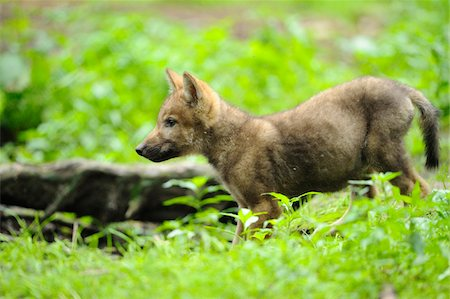 Eurasian wolf (Canis lupus lupus) pup in the forest, Bavaria, Germany Stock Photo - Rights-Managed, Code: 700-06714173