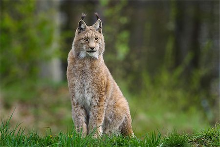 pictures cats - Eurasian lynx (Lynx lynx), Bavarian Forest National Park, Germany Stock Photo - Rights-Managed, Code: 700-06732537
