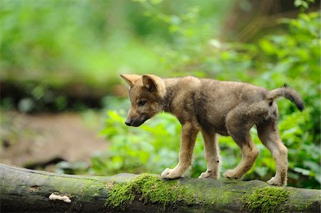 Eurasian wolf (Canis lupus lupus) pup in the forest, Bavaria, Germany Stock Photo - Rights-Managed, Code: 700-06732731