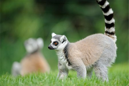 Ring-tailed lemur (Lemur catta) on a meadow, Zoo Augsburg, Germany Stock Photo - Rights-Managed, Code: 700-06733330