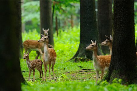 Herd of fallow deer (Dama dama) with a calf in the forest, Bavaria, Germany Stock Photo - Rights-Managed, Code: 700-06733332