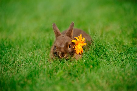 summer - Netherland Dwarf young rabbit on a meadow, Bavaria, Germany Stock Photo - Rights-Managed, Code: 700-06758318