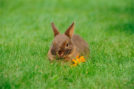 Netherland Dwarf young rabbit on a meadow, Bavaria, Germany Stock Photo - Rights-Managed, Code: 700-06758319