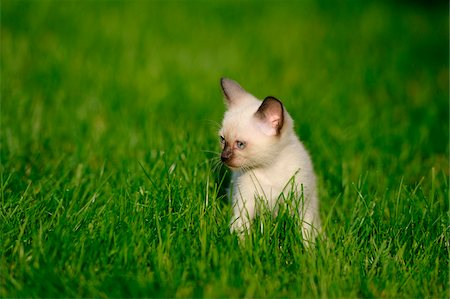 Siamese cat youngster kitten on a meadow, bavaria, germany. Stock Photo - Rights-Managed, Code: 700-06758324