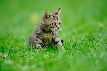 House cat youngster kitten on a meadow, bavaria, germany. Stock Photo - Rights-Managed, Code: 700-06758322