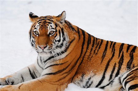 endangered animal - Siberian tiger (Panthera tigris altaica) in wintertime in a Zoo, Germany Stock Photo - Rights-Managed, Code: 700-06752076