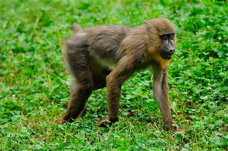 Mandrill (Mandrillus sphinx) on a meadow in Zoo, Augsburg, Germany Stock Photo - Rights-Managed, Code: 700-06752079