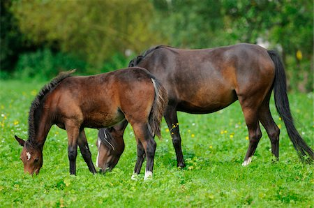 Welsh Ponys on a meadow, Bavaria, Germany Stock Photo - Rights-Managed, Code: 700-06752334