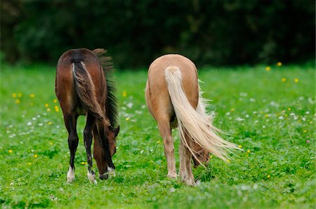 Welsh Ponys grazing on a meadow, Bavaria, Germany Stock Photo - Rights-Managed, Code: 700-06752335