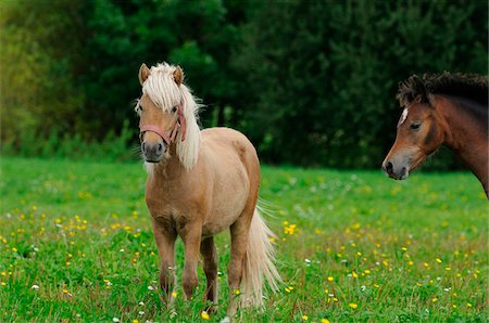 Welsh Ponys on a meadow, Bavaria, Germany Stock Photo - Rights-Managed, Code: 700-06752333