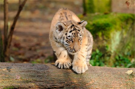 perception - Siberian tiger (Panthera tigris altaica) cub in a Zoo, Germany Stock Photo - Rights-Managed, Code: 700-06752447