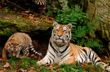Siberian tiger (Panthera tigris altaica) mother with her cub in a Zoo, Germany Stock Photo - Rights-Managed, Code: 700-06752449