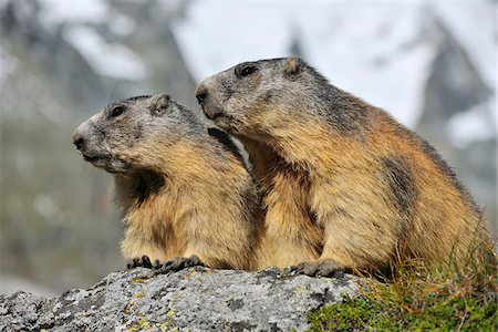 Alpine Marmots, Marmota marmota, Hohe Tauern National Park, Grossglockner High Alpine Road, Carinthia, Austria, Europe Stock Photo - Rights-Managed, Code: 700-06752606