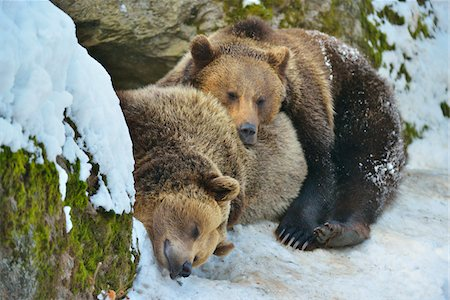 Brown Bear, Ursus arctos, in the Winter, Neuschoenau, National Park Bavarian Forest, Bavaria, Germany Stock Photo - Rights-Managed, Code: 700-06752609