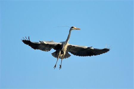 Grey Heron, Ardea cinerea, in flight, Spring, Franconia, Bavaria, Germany, Europe Stock Photo - Rights-Managed, Code: 700-06752610