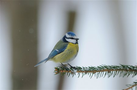 Blue Tit (Cyanistes caeruleus) sitting on a branch, Bavaria, Germany Stock Photo - Rights-Managed, Code: 700-06773178