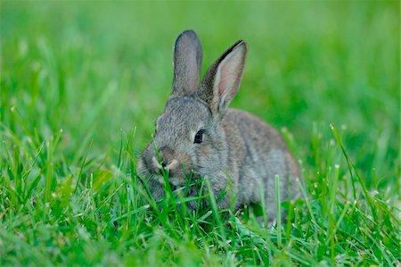 Domestic rabbit (Oryctolagus cuniculus forma domestica) young in a meadow, Bavaria, Germany Stock Photo - Rights-Managed, Code: 700-06773181