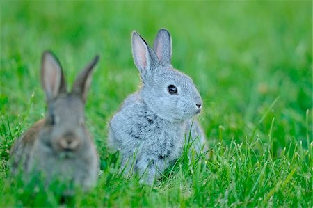 Domestic rabbit (Oryctolagus cuniculus forma domestica) young in a meadow, Bavaria, Germany Stock Photo - Rights-Managed, Code: 700-06773182