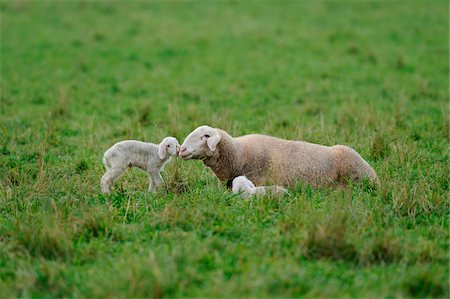 domestic sheep - Sheep (Ovis aries) mother with their youngster in a meadow in autumn, bavaria, germany Stock Photo - Rights-Managed, Code: 700-06773183