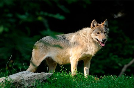 Eastern wolf (Canis lupus lycaon) standing at edge of forest, Germany Stock Photo - Rights-Managed, Code: 700-06773384