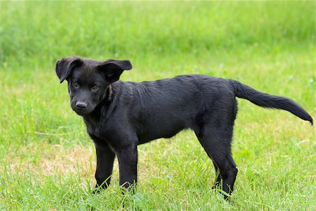 perception - Mixed-breed black dog puppy standing on a meadow, Bavaria, Germany Stock Photo - Rights-Managed, Code: 700-06773727
