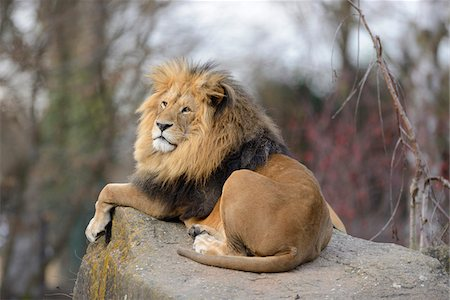 perception - Lion (Panthera leo) male lying on boulder outdoors in a Zoo, Germany Stock Photo - Rights-Managed, Code: 700-06773771