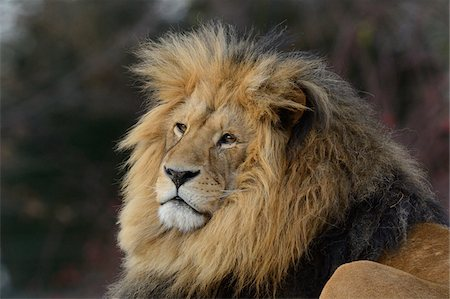 Portrait of a Male Lion (Panthera leo) outdoors in a Zoo, Germany Stock Photo - Rights-Managed, Code: 700-06786678