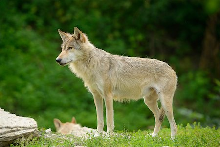 perception - Eastern wolf (Canis lupus lycaon) standing on a meadow, Germany Stock Photo - Rights-Managed, Code: 700-06786884