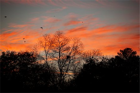 flying bird - Sunset over Trees, Central Georgia, USA Stock Photo - Rights-Managed, Code: 700-06786906