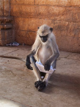 Gray Langur Monkey 'Reading' in Ruins of Chittorgarh Fort, Rajasthan, India Stock Photo - Rights-Managed, Code: 700-06782170