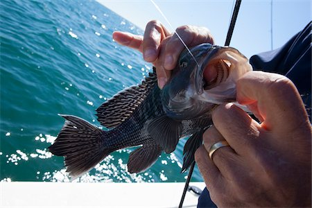 Fishing for Black sea bass, Centropristis striata, atlantic ocean, somewhere off the coast of georgia, near Savannah, Thunderbolt, Tybee Island. Stock Photo - Rights-Managed, Code: 700-06808887