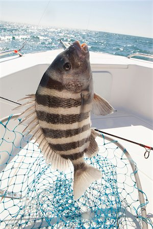 sheepshead fish caught by fisherman in georgia Stock Photo - Rights-Managed, Code: 700-06809023