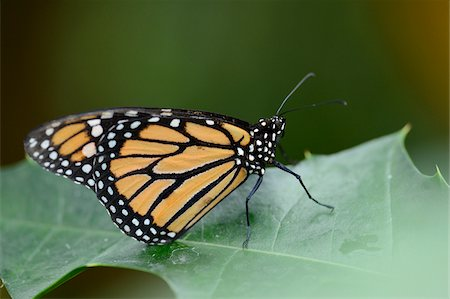 Close-up of a Monarch butterfly (Danaus plexippus) sitting on a leaf Stock Photo - Rights-Managed, Code: 700-06803829